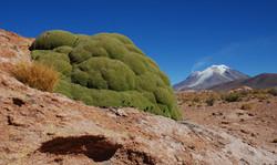 Yareta plant & Ollagüe Volcano