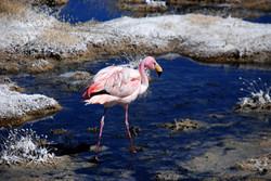 Flamant rose - laguna Cañapa
