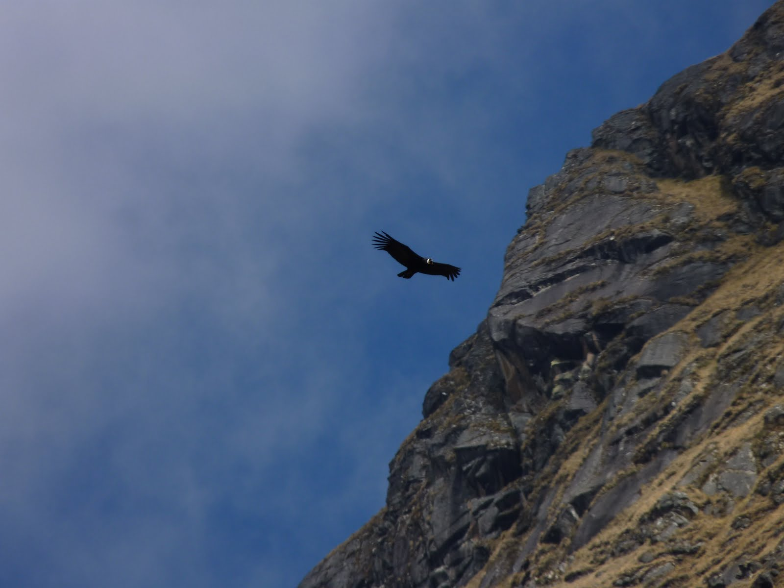 condor de los Andes