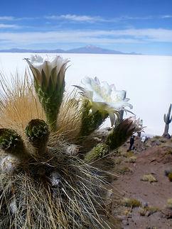 Cactus Island on the Salar de uyuni Saltflat