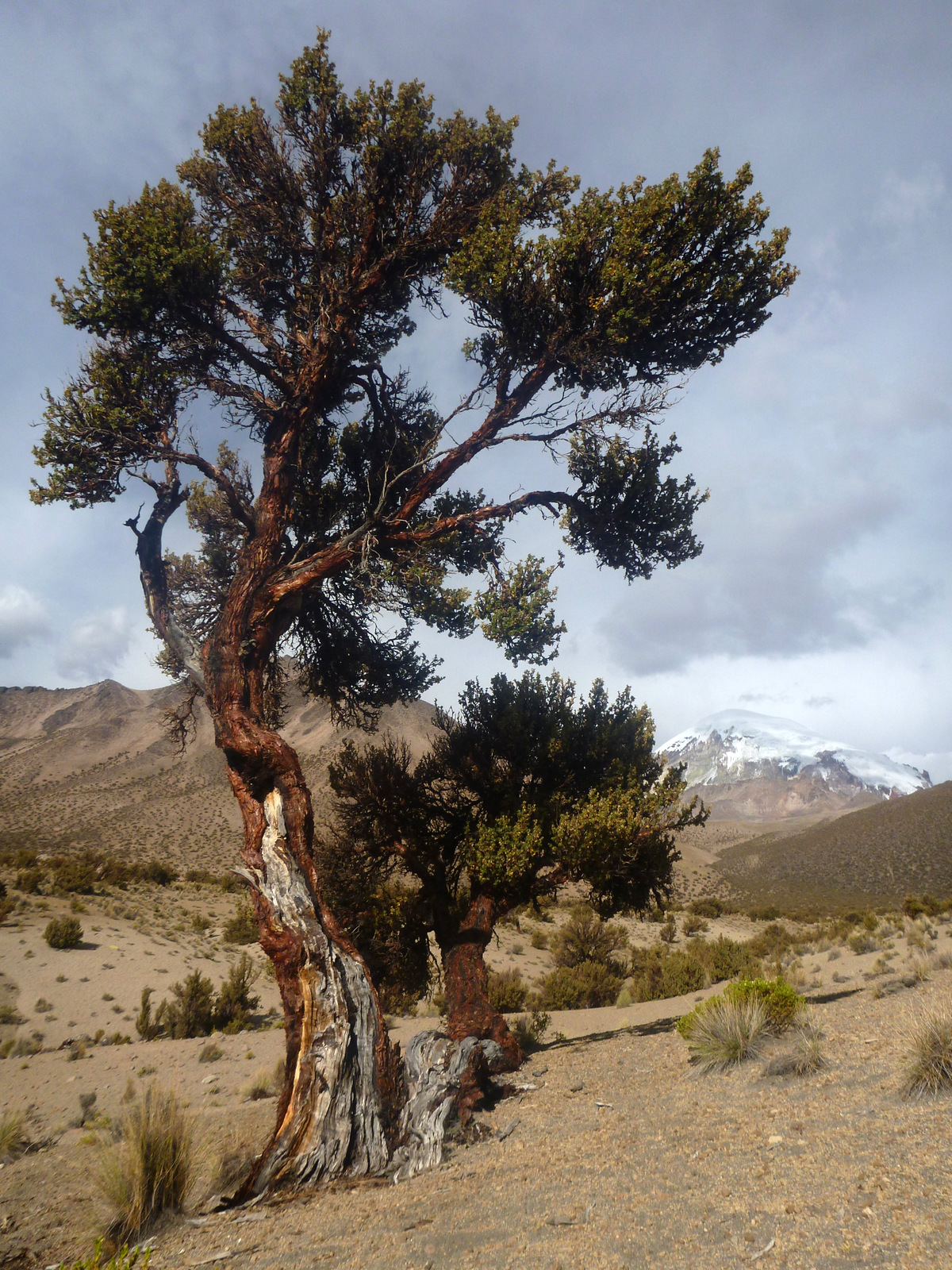 Queñua tree and Sajama