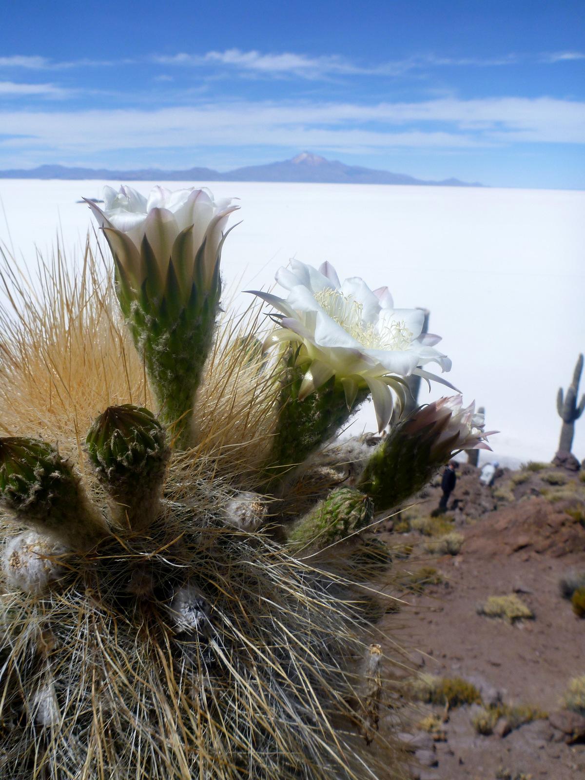 cardon cactus en fleur