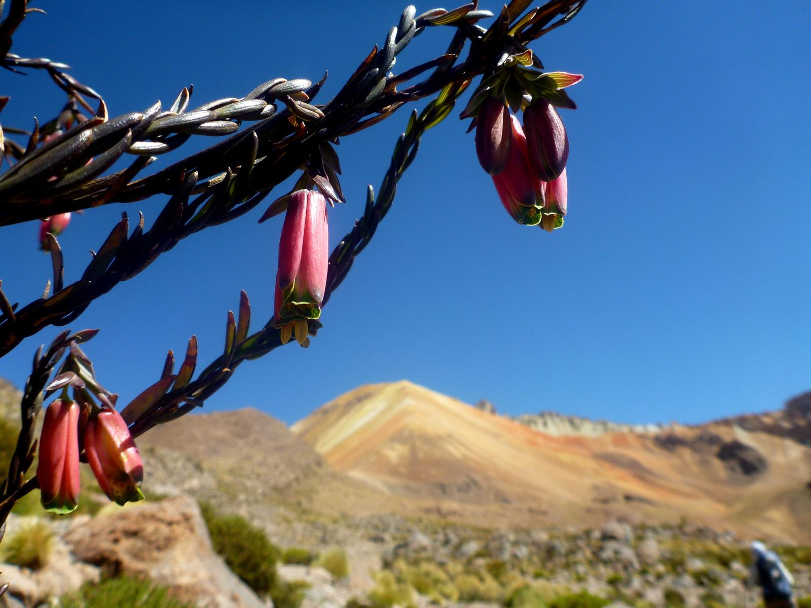 fleurs d'une plante de Fuchsia
