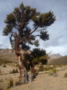 Queñua tree