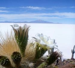 cactus en fleur & Salar de Uyuni