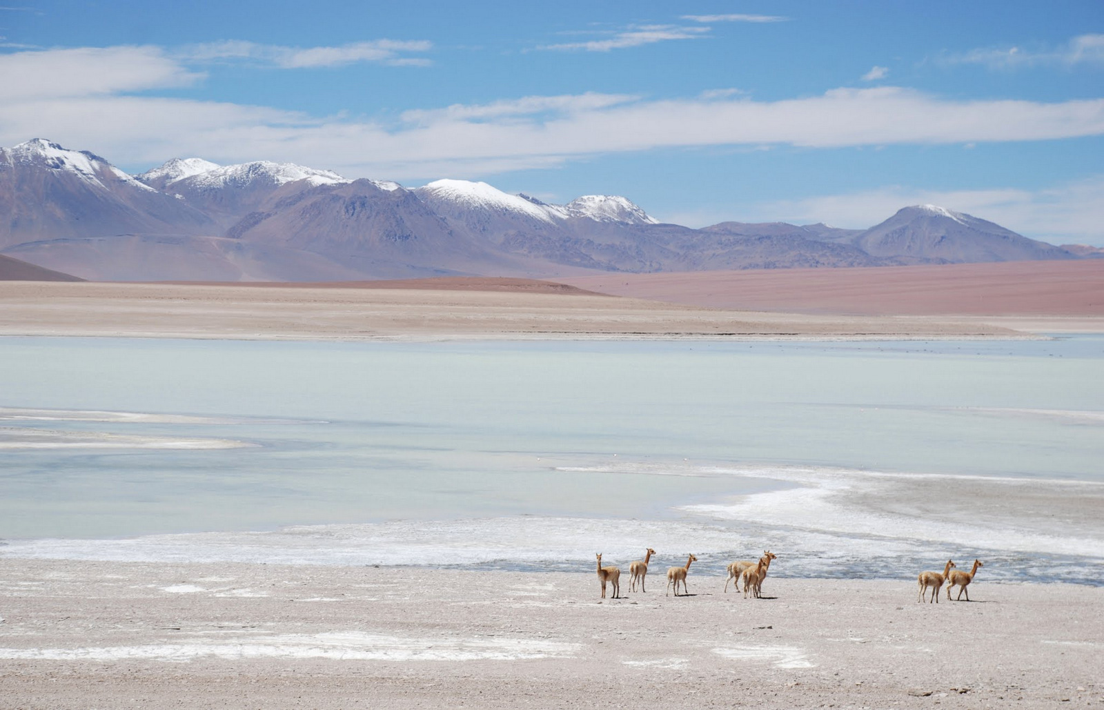 Vicuñas and pastel painting