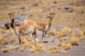 Vicuñas Bolivia