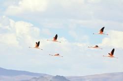 Flamingos - Atacama Salt flat