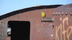 Yellow finch at train cementery