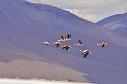 flamigos in Isluga's National Park
