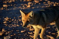 Andean Fox - Atacama desert