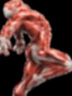 мышечный-скелет.png