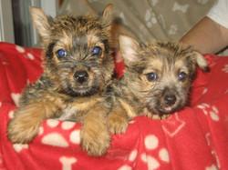 Norwich puppies