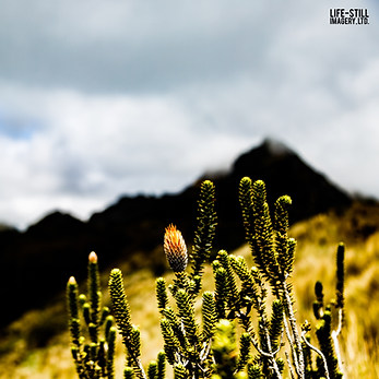 """The Flower of the Andes"" Rucu Pichincha, Ecuador (2018)"