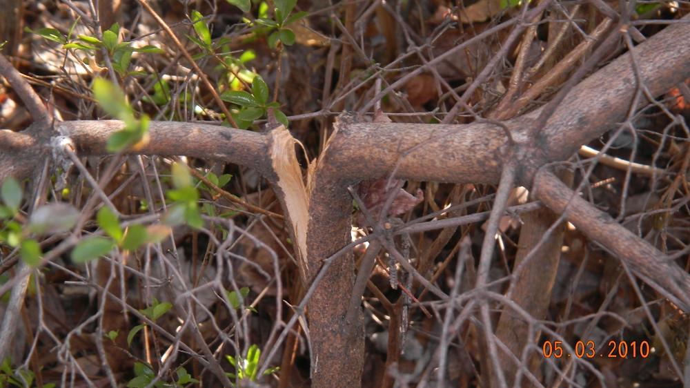 Fig 1 Azelea damage.jpg