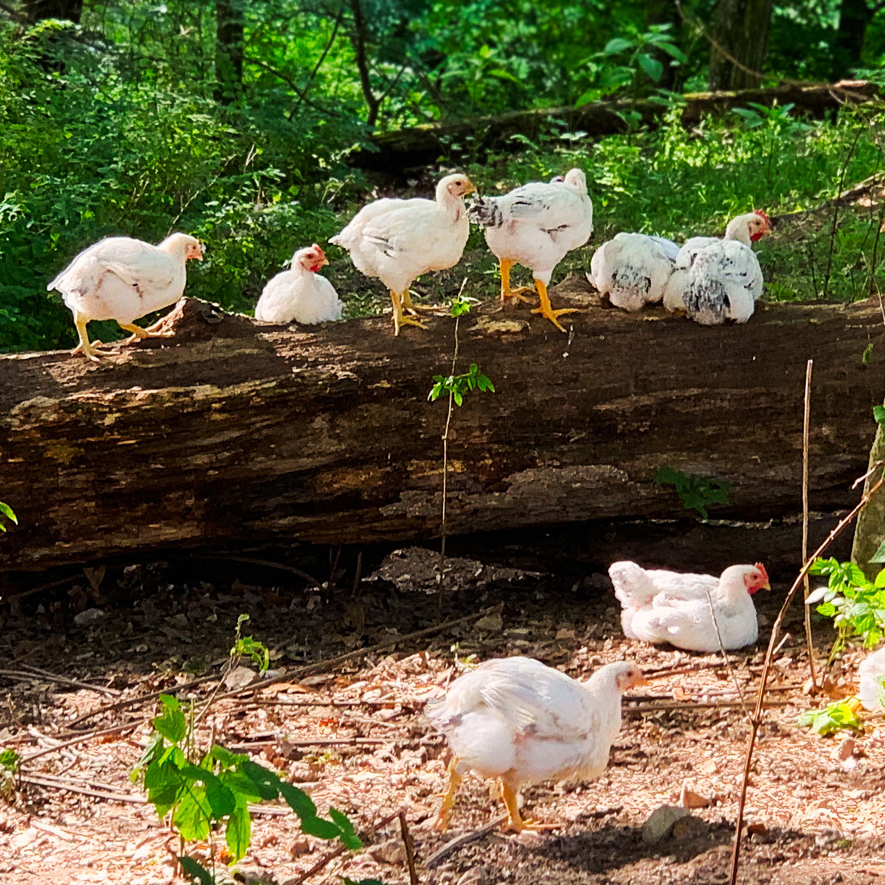 Cooks Venture chickens on log