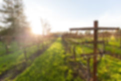 Seppa vineyard, pinot noir, sonoma county, petaluma gap, bulk grape, vineyard, bravium, local, sustainable, leila seppa
