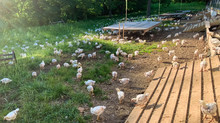 **New Heirloom-breed, pasture-raised chickens from Cooks Venture