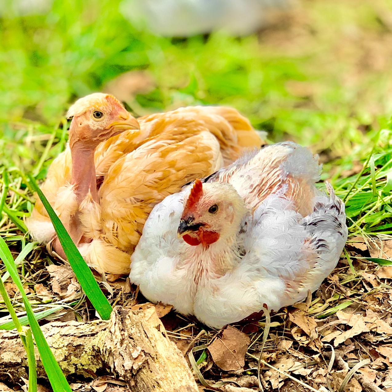 Cooks Venture close up chickens