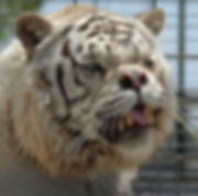 deformed-white-tiger.jpg