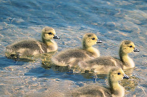 chicks-4219655_960_720.jpg