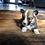 Thumbnail: Elliot ~ Rare Sable Fluffy ~ Less Shedding