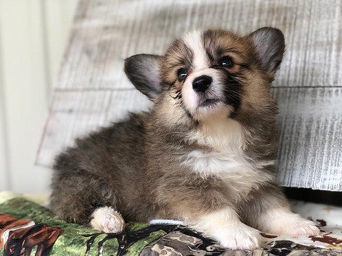 Elliot ~ Rare Sable Fluffy ~ Less Shedding