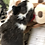 Thumbnail: Timmy ~ Brindle ~ Cardigan