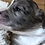 Thumbnail: Flynn ~ RARE ~ Fluffy Merle Brindle ~ Blue Eyes