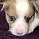 Thumbnail: Norman ~ Sable Merle ~Blue Eyes