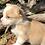 Thumbnail: Yolanda ~ Rare Fawn Merle