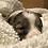 Thumbnail: Fulton ~ Fluffy Merle Brindle