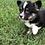 Thumbnail: Lacy ~ Tri Fluffy ~ Less Shedding
