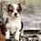 Thumbnail: Arlo ~ Blue Merle ~ Fluffy Carrier ~ Triple Clear ~ 100% Pembroke