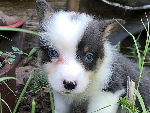 Bam ~ Tri Bluie ~ 2 Blue Eyes