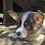 Thumbnail: Buck~ Rare Bluie w/Brindle ~ Blue Eyes ~ Outstanding Pup