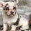 Thumbnail: Brogan ~ Brindle Merle  ~ Blue Eyes ~ HOLD