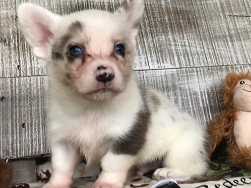 Brogan ~ Brindle Merle  ~ Blue Eyes ~ HOLD