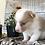 Thumbnail: Pecos ~ Blue Merle  ~