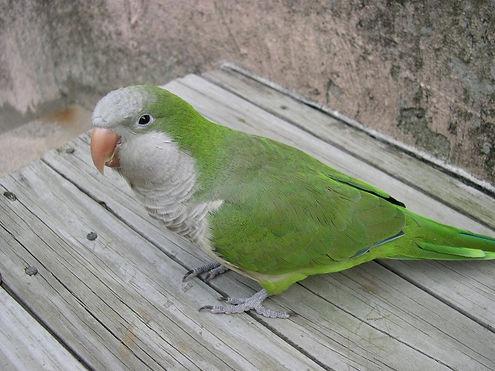 quaker-parrot-2-1380503.jpg