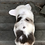 Thumbnail: Flintstone ~ Harlequin Merle with Tweed Pattern