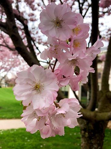Blossom in front of St.Matt.jpg