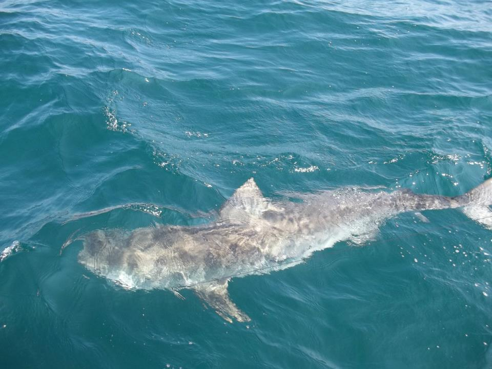 11 foot tiger shark