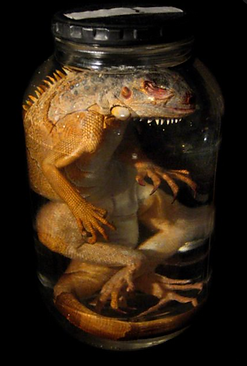 Dead Things in jars picture number 2 by www.odditiesdomains.com