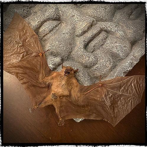 Open Wing Bat - Macroglossus Minimus