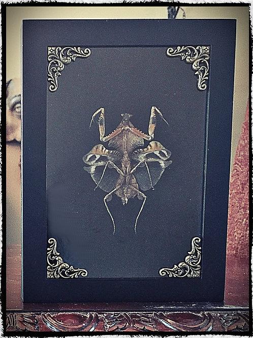 Preserved Death Mantis in Shadowbox Frame