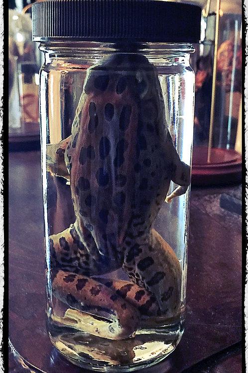 Preserved Frog. Wet Specimen.