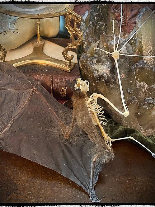 Large Half Skeleton Open Wing Bat - Cynopterus Sphinx
