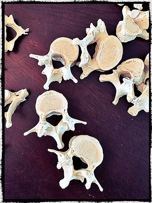 Human vertebrae - cervical, thoracic, lumbar