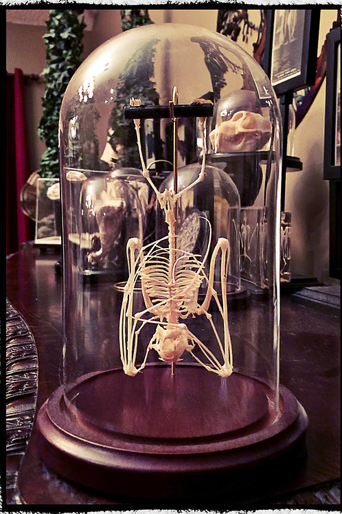 Hanging Bat Skeleton In a Glass Dome